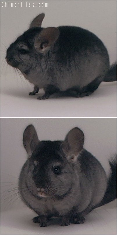 3051 Show Quality Ebony ( Violet Carrier ) Female Chinchilla