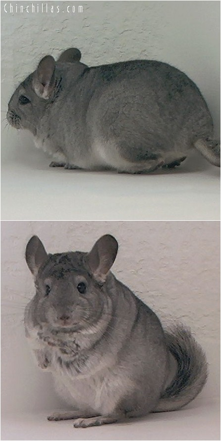 3130B Premium Production Quality Standard ( Sapphire Carrier ) Female Chinchilla