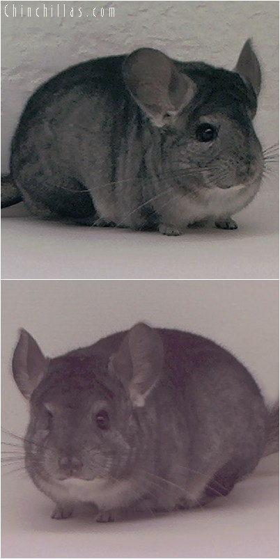 3140 Show Quality Standard Female Chinchilla