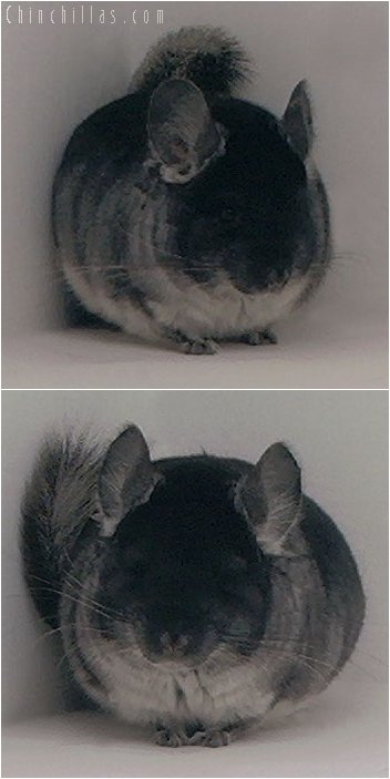 3059 Black Velvet Male Chinchilla