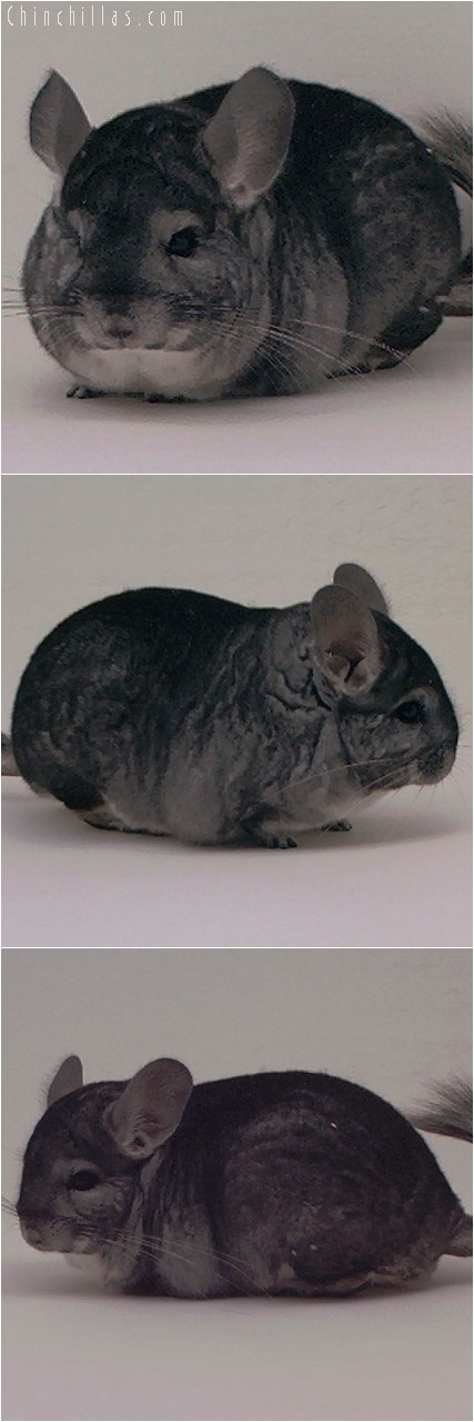 4003 Show Quality Standard Male Chinchilla
