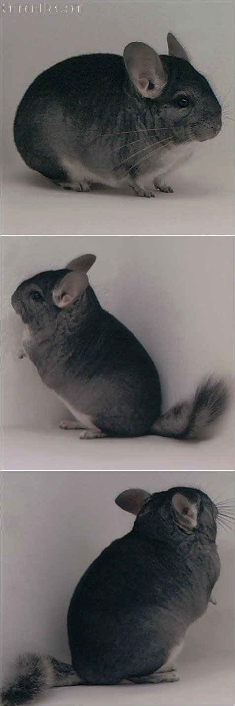 3055 Show Quality Standard Female Chinchilla