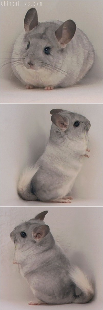 4085 Showable Silver Mosaic Male Chinchilla