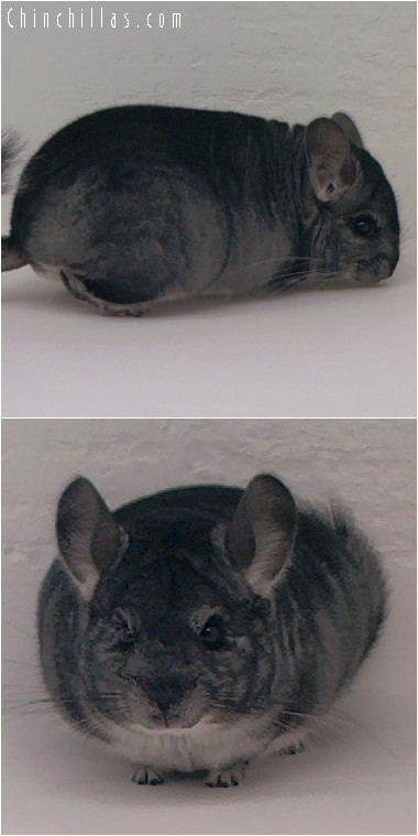 4115 Show Quality Standard Male Chinchilla