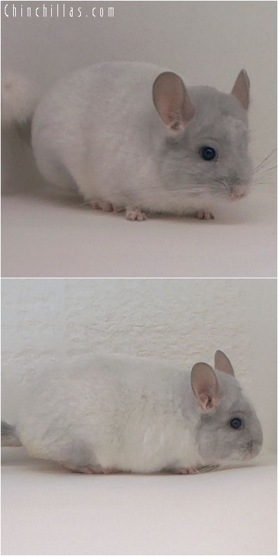 4171 Violet and White Mosaic Male Chinchilla