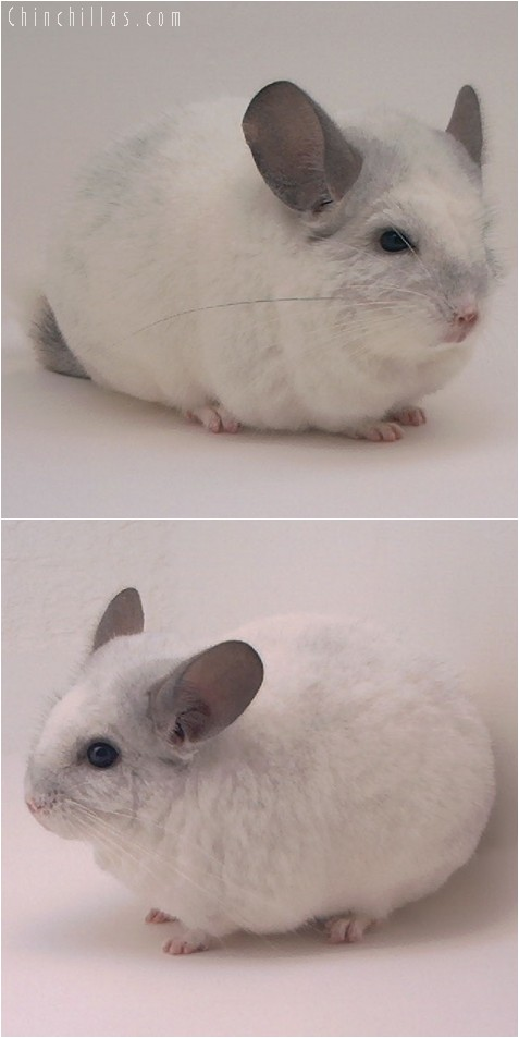 4147 Extra Large Show Quality White Mosaic Male Chinchilla