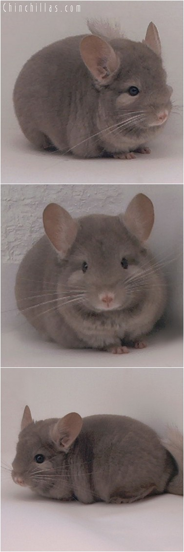 4197 Show Quality Tan Female Chinchilla