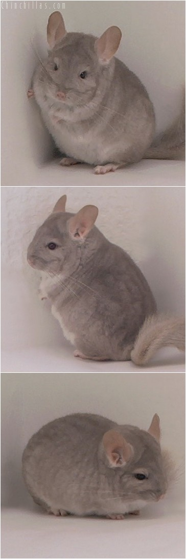 4330 Show Quality Beige Female Chinchilla
