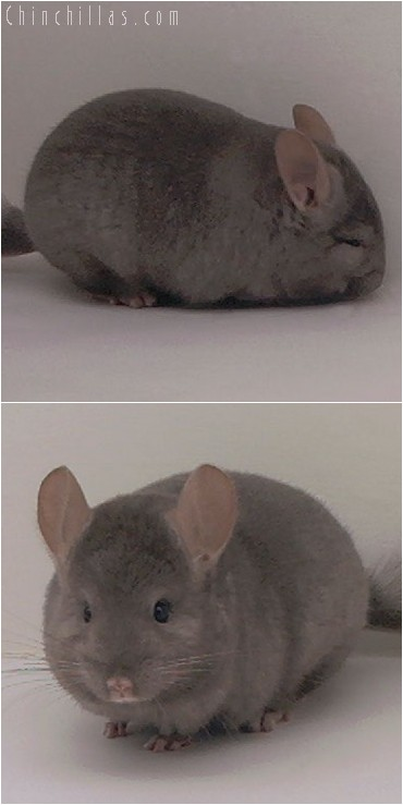 5001 Show Quality Tan Female Chinchilla