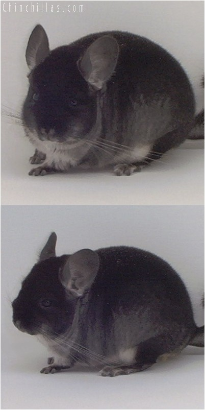 4326 Show Quality Black Velvet Male Chinchilla