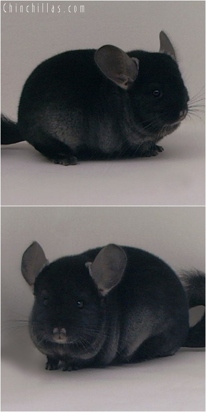 5026 Premium Production Quality TOV Ebony Female Chinchilla