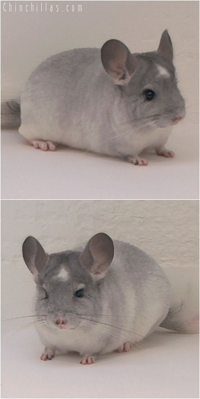 5068 Show Quality Silver Mosaic Male with Star Chinchilla
