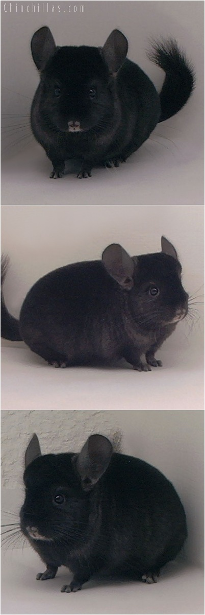5067 Show Quality Ebony Male Chinchilla