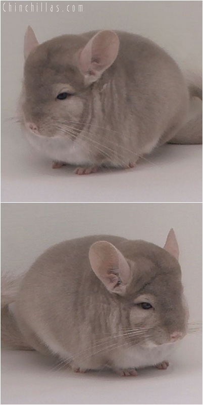 5093 Show Quality Homo Beige Male Chinchilla