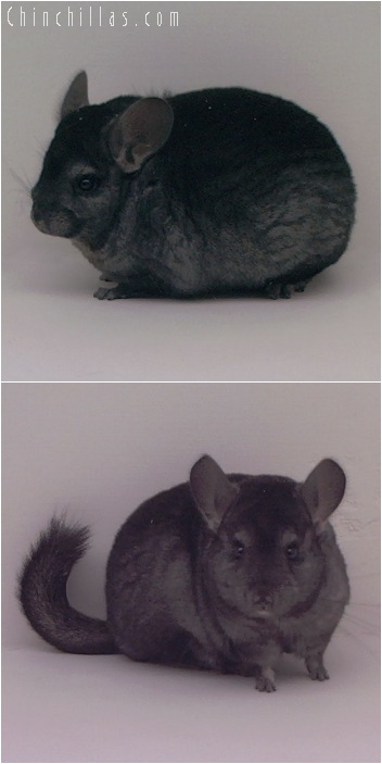 5092 Show Quality Ebony Female Chinchilla