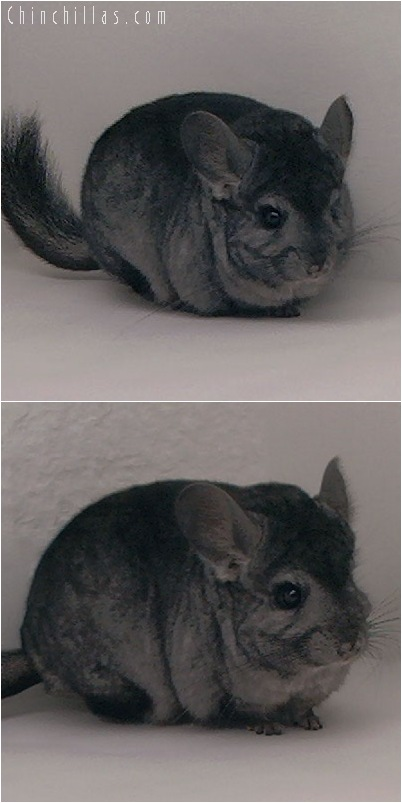 5130 Show Quality Ebony ( Violet Carrier ) Female Chinchilla