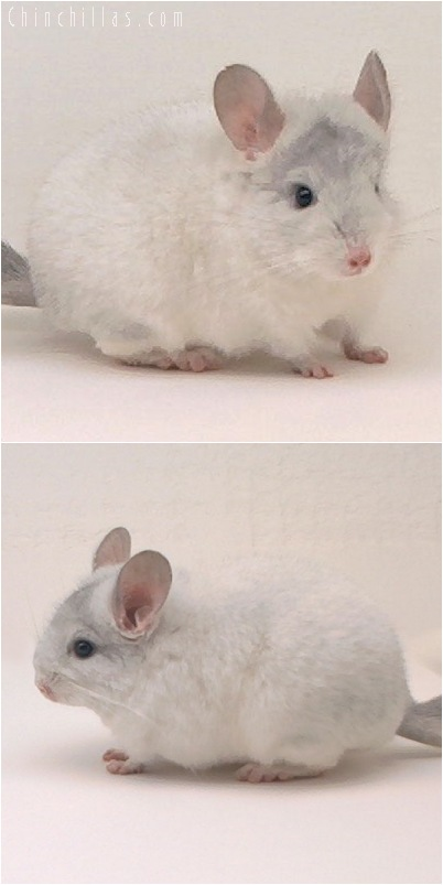 5140 Show Quality Sapphire & White Mosaic Female Chinchilla