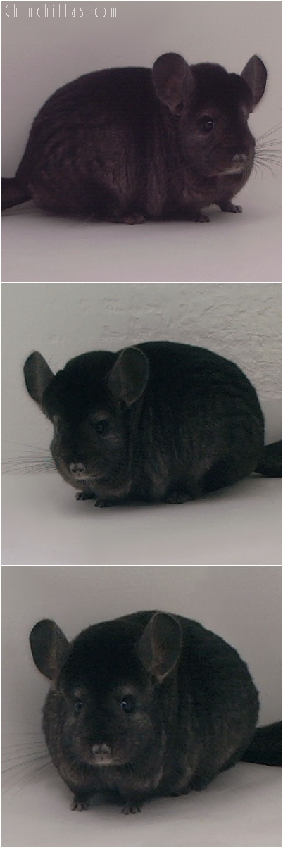 5162 Extra Large Premium Production Quality Ebony Female Chinchilla