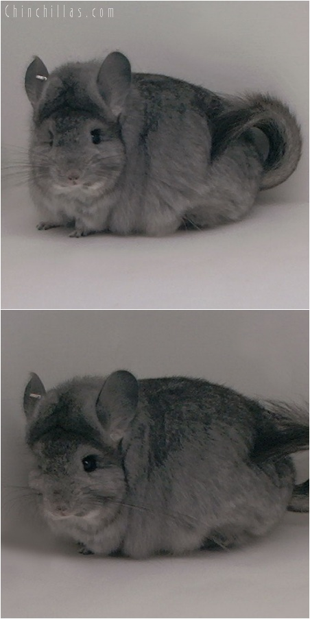 5170 Standard Royal Persian Angora Female Chinchilla