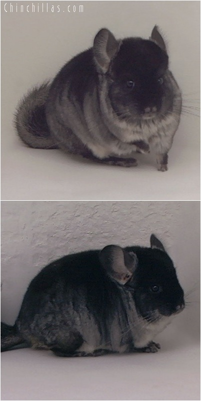 5182 Black Velvet ( Ebony Carrier ) Male Chinchilla