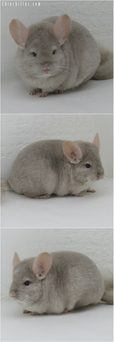 6007 Large Light Tan ( Violet Carrier ) Female Chinchilla