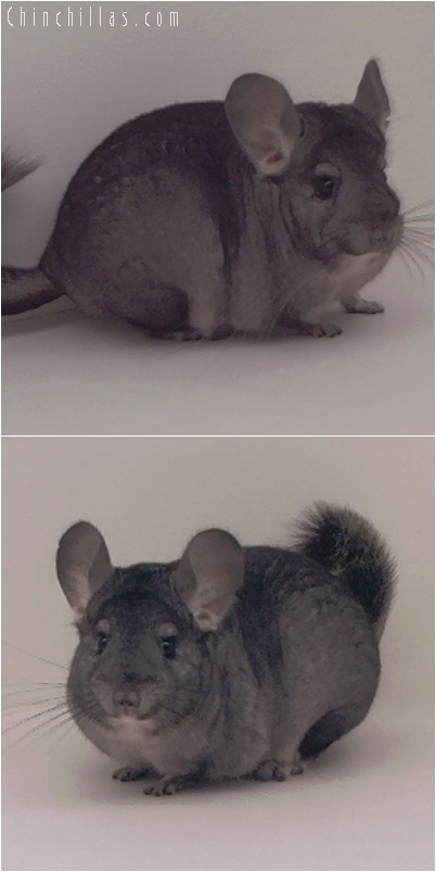 5224 Show Quality Standard ( Ebony & Violet Carrier ) Female Chinchilla