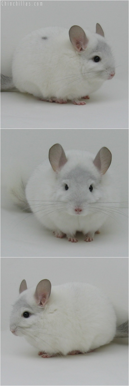 6017 Top Show Quality Sapphire & White Mosaic Male Chinchilla