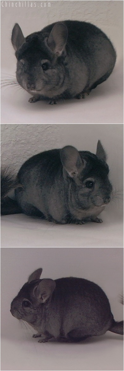 5257 Show Quality Ebony Female Chinchilla