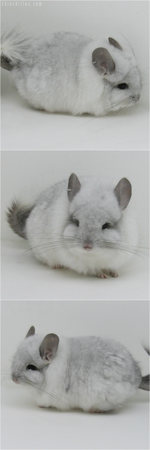 6050 White Mosaic Royal Persian Angora Male Chinchilla