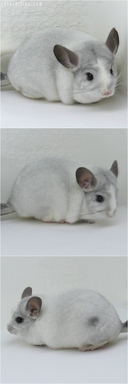 6113 Premium Production Quality White Mosaic Female Chinchilla
