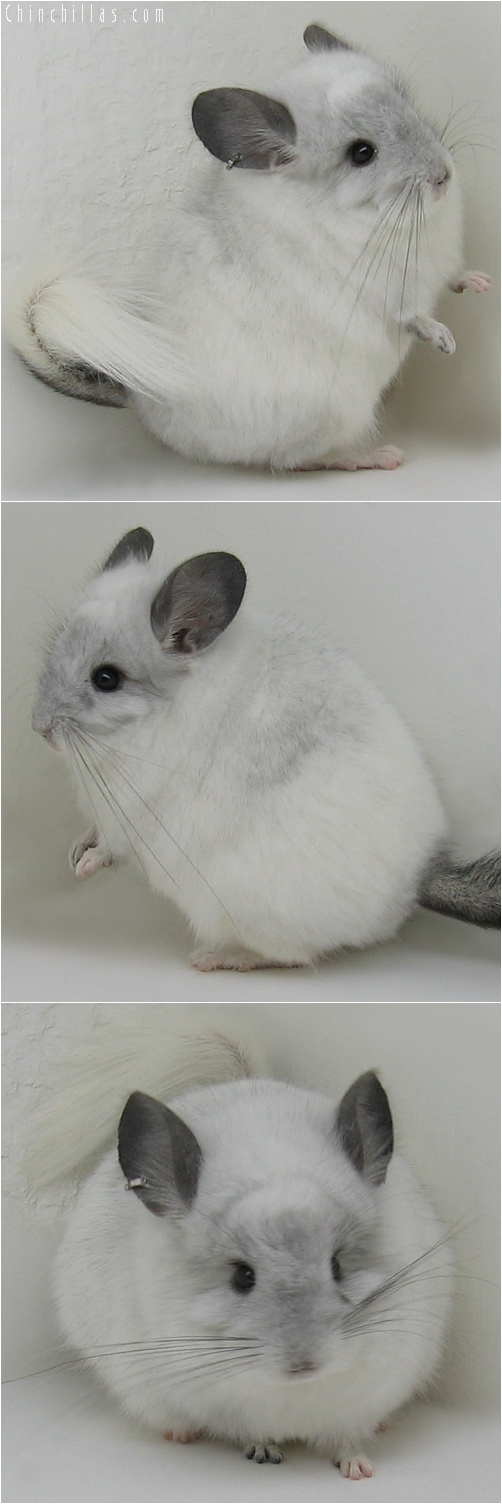 6135 White Mosaic Royal Persian Angora Male Chinchilla