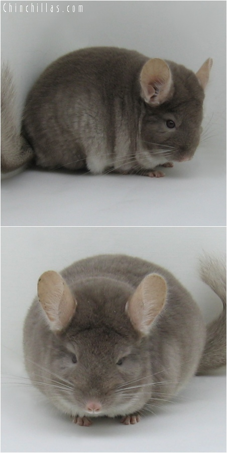 6158 Premium Production Quality TOV Beige ( Violet Carrier ) Female Chinchilla