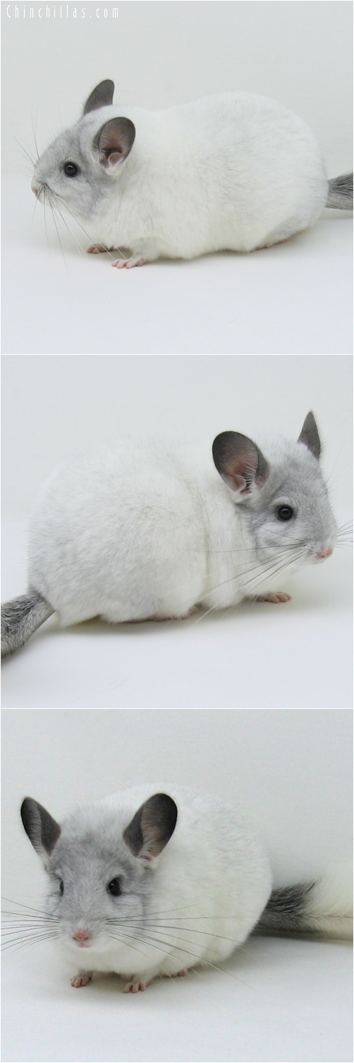 6173 Show Quality White Mosaic ( Sapphire Carrier ) Female Chinchilla