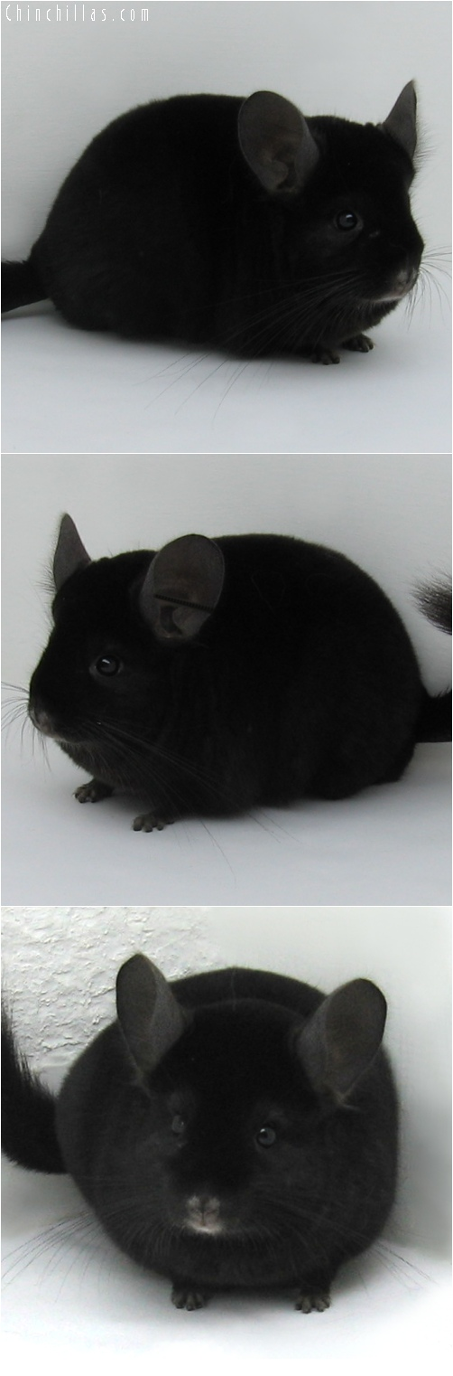 6151 Premium Production Quality Ebony Female Chinchilla