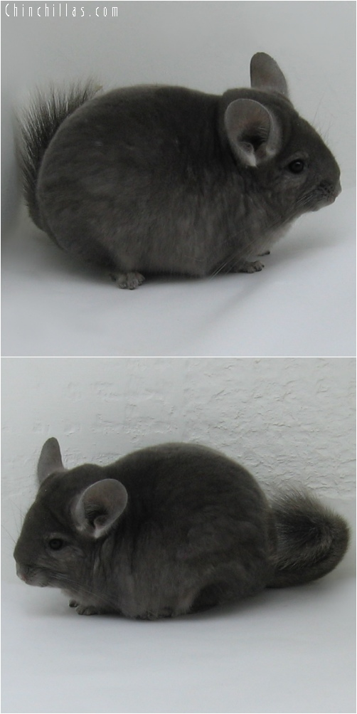 6218 Top Show Quality Wrap - around Violet Female Chinchilla