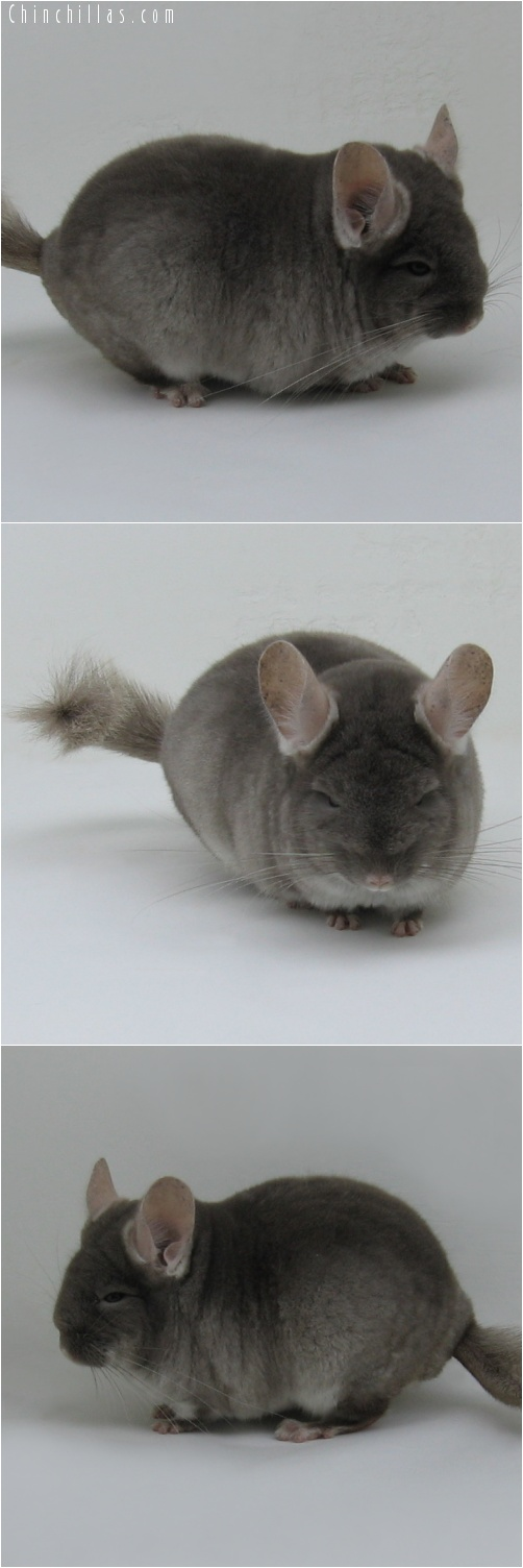 7025 Premium Production Quality TOV Beige ( Violet Carrier ) Female Chinchilla