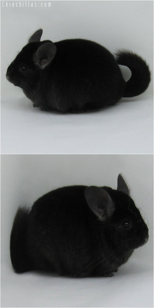 6259 Large Premium Production Quality Ebony Female Chinchilla