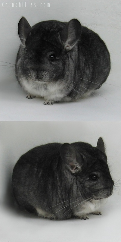 7170 Large Premium Production Quality Standard Female Chinchilla