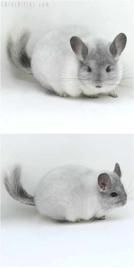 8026 Premium Production Quality White Mosaic Female Chinchilla