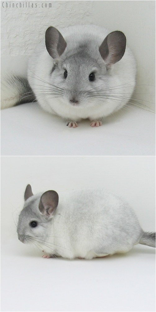 8081 Large Premium Production Quality White Mosaic Female Chinchilla