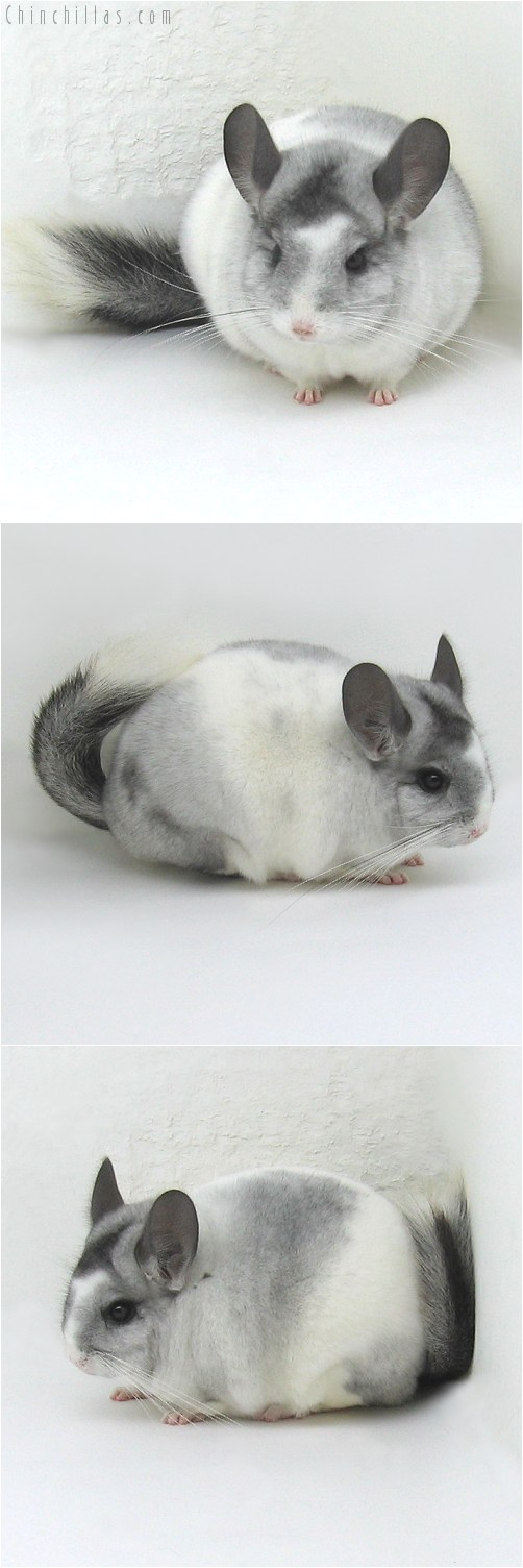 8142 Premium Production Quality Tri-tone White Mosaic K887 Daughter Chinchilla