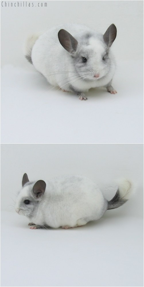 9026 Premium Production Quality White Mosaic ( Ebony Carrier ) Female Chinchilla