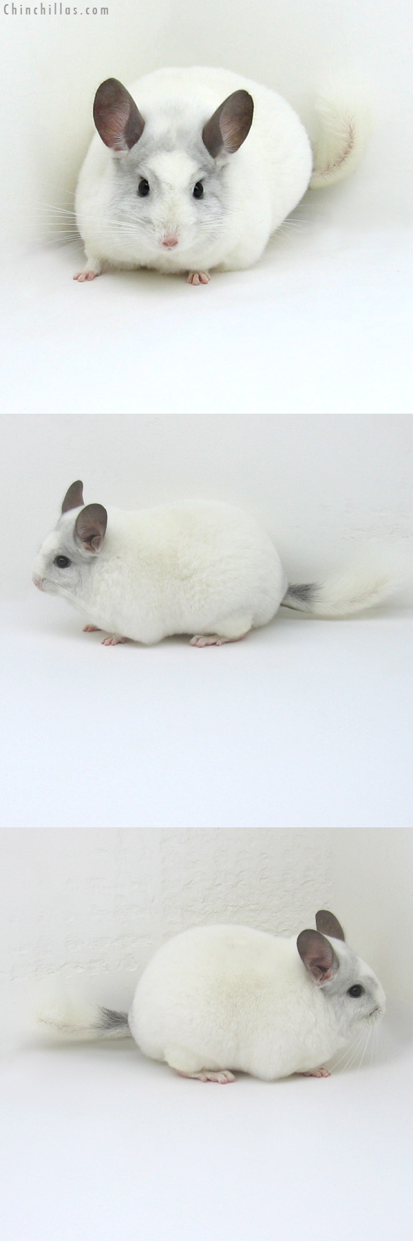 11065 Large Premium Production Quality White Mosaic K887 Daughter Chinchilla